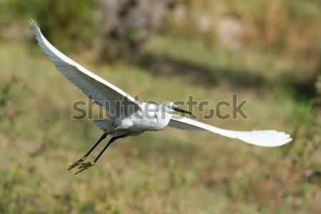 Branco ocidental garça-real vôo luz pássaro Foto stock © davemontreuil