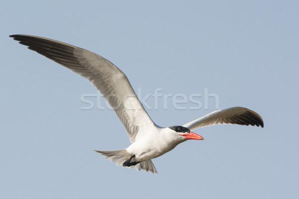 A Caspian Tern in flight  Stock photo © davemontreuil