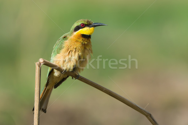 A Little-Bee Eater (Merops pusillus) with its chest ruffled Stock photo © davemontreuil