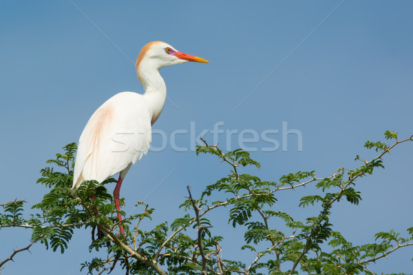 Cattle Egret Stock photo © davemontreuil