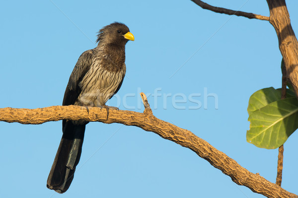 Western-Grey Plantain-Eater Stock photo © davemontreuil