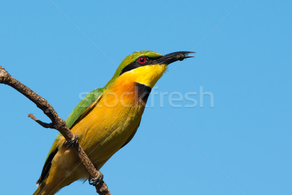 Little Bee-Eater (Merops pusillus) with small bee Stock photo © davemontreuil