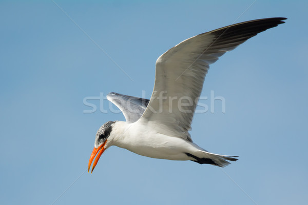Caspian Tern (Sterna Caspia) in flight Stock photo © davemontreuil