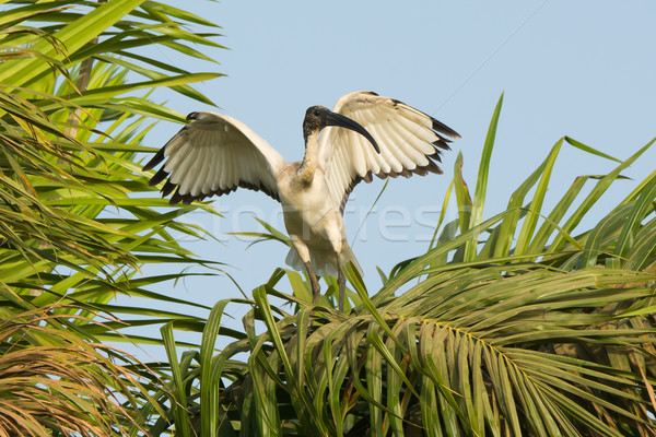 Sacred Ibis flapping its wings in a palm tree Stock photo © davemontreuil