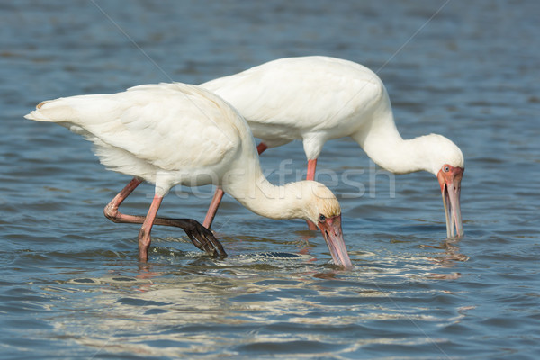Two African Spoonbills searching for food in unison Stock photo © davemontreuil
