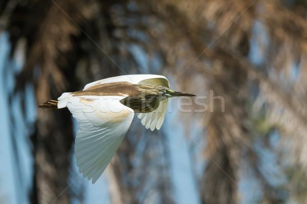Garça-real vôo voador passado palmeira árvore Foto stock © davemontreuil