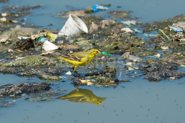 British Yellow Wagtail standing on floating garbage and sewage Stock photo © davemontreuil