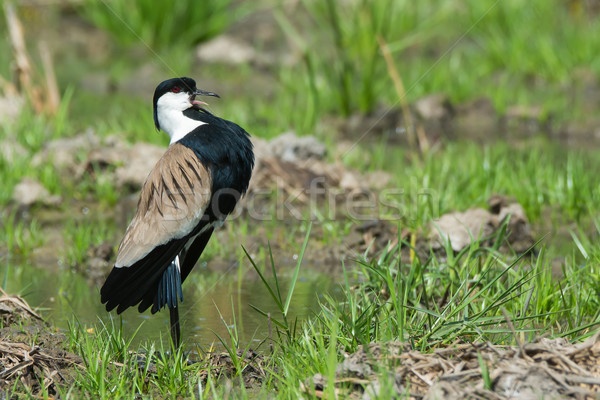 Spur-Winged Plover (Vanellus Spinosus) displaying proudly on the Stock photo © davemontreuil