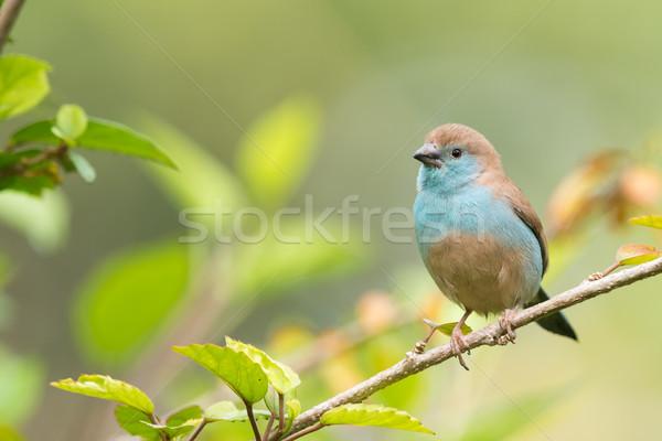 青 支店 自然 鳥 美しい 環境 ストックフォト © davemontreuil