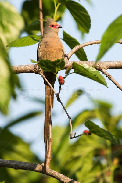 尾 赤 アフリカ アフリカ 自然 ストックフォト © davemontreuil