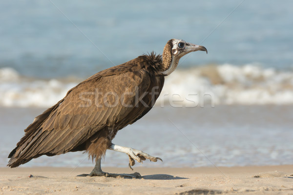 Hooded Vulture (Necrosyrtes manachus) taking a step Stock photo © davemontreuil