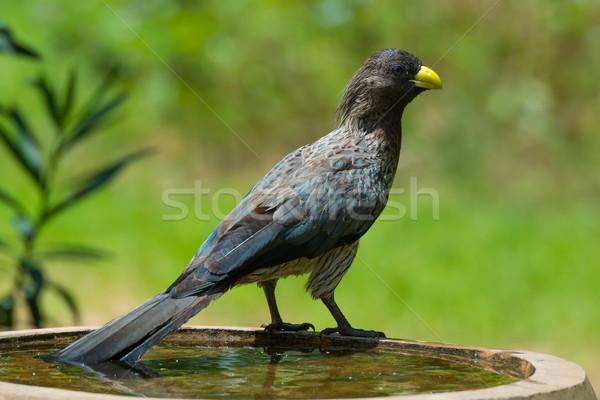 Occidentale grigio uccello bagno Foto d'archivio © davemontreuil