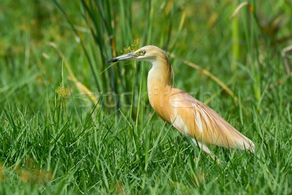 Squacco Heron Stock photo © davemontreuil