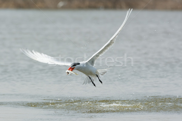 Caspian Tern in flight with a fish speared on its bill Stock photo © davemontreuil