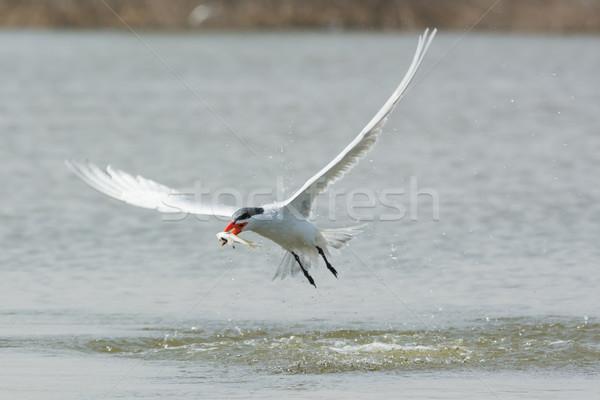 Vlucht vis Bill water vogel afrika Stockfoto © davemontreuil