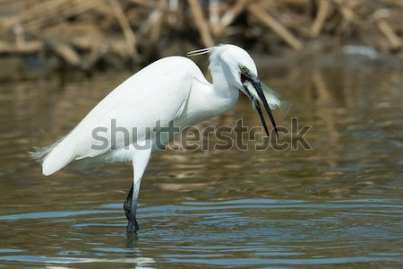 Great White Egret (Egretta alba) scratching its neck with its fo Stock photo © davemontreuil