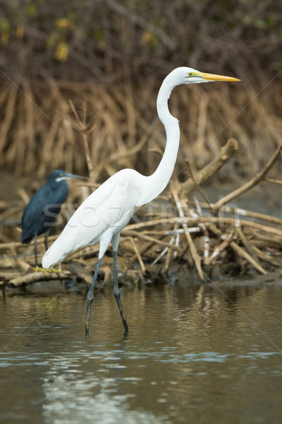 Great White Egret standing in the mangroves Stock photo © davemontreuil