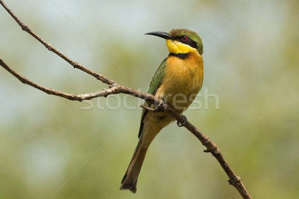A Little-Bee Eater (Merops pusillus) perched on a forked branch Stock photo © davemontreuil