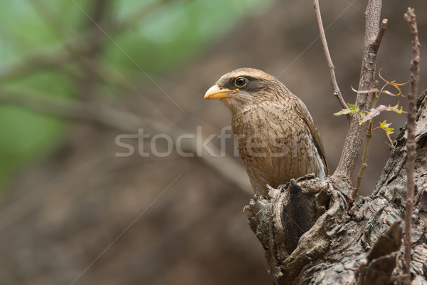 A Yellow-billed shrike (Corvinella corvina) looking out from a p Stock photo © davemontreuil