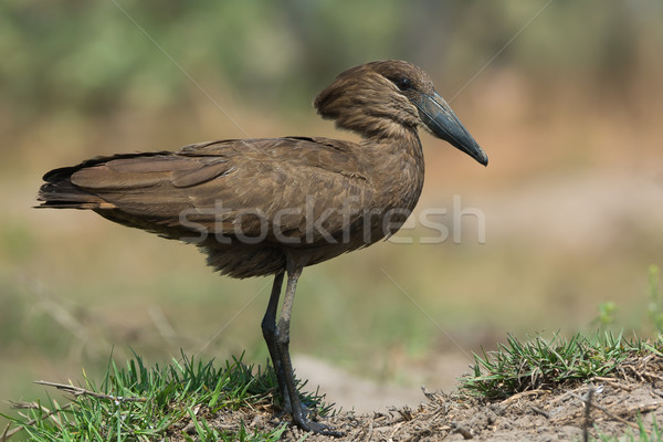 A Hamerkop (Scopus umbretta) with muddy feet Stock photo © davemontreuil
