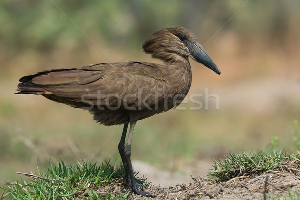 Sáros láb természet kalapács állat profil Stock fotó © davemontreuil