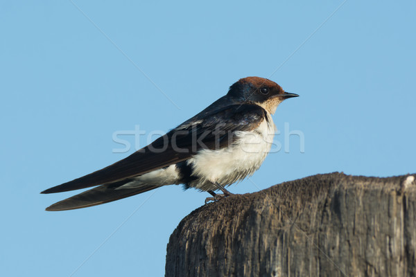 Wire-tailed Swallow (Hirundo smithii) perched on a wooden pole Stock photo © davemontreuil