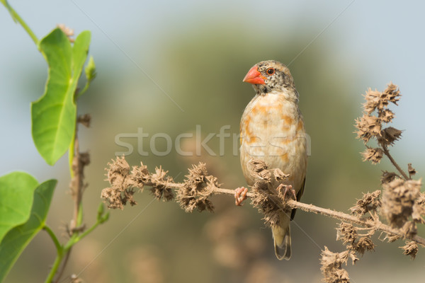 Tüyler kırmızı Afrika erkek güzel tohum Stok fotoğraf © davemontreuil