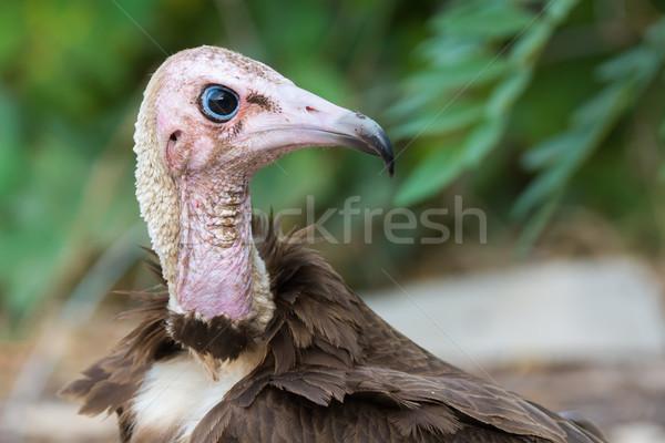 Portré kapucnis dögkeselyű részletes madár fej Stock fotó © davemontreuil