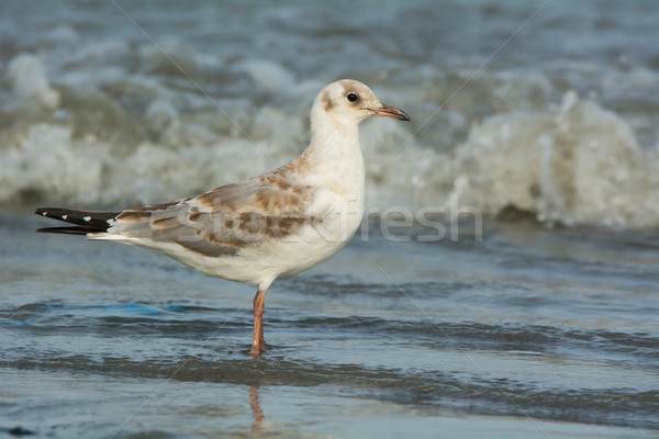 Slender-billed Gull in surf Stock photo © davemontreuil