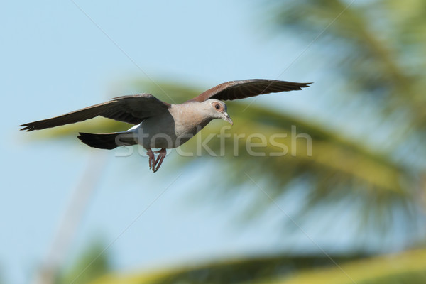 Young Speckled Pigeon (Columba Guinea) in flight Stock photo © davemontreuil