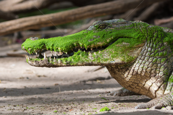 West African Crocodile Stock photo © davemontreuil