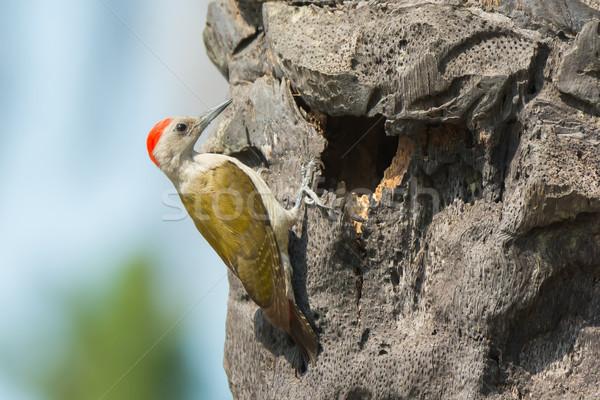 Cinza ninho masculino palmeira buraco Foto stock © davemontreuil