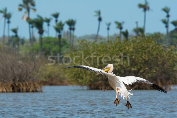 Nagyszerű fehér leszállás pálma madár Afrika Stock fotó © davemontreuil