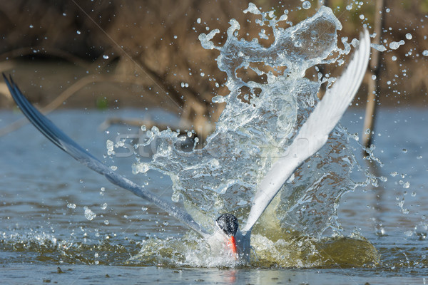 Caspian Tern resurfaces with an impressive splash Stock photo © davemontreuil