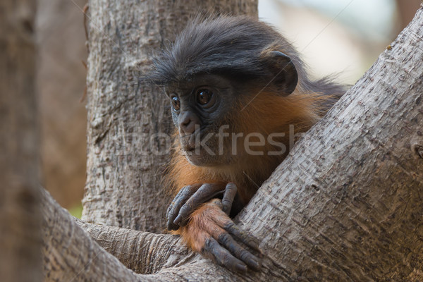 Jóvenes occidental rojo mono perdido pensamiento Foto stock © davemontreuil