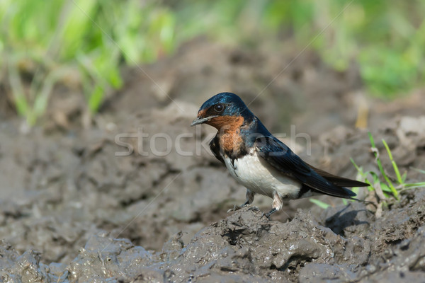 Red-Chested Swallow (Hirundo Lucida) gathering mud for a nest Stock photo © davemontreuil
