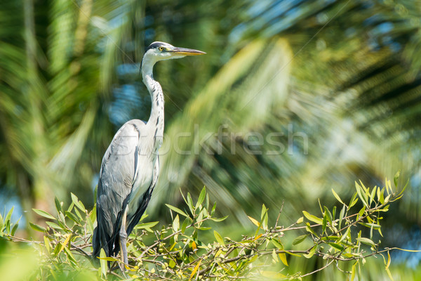 Grey Heron on tree Stock photo © davemontreuil