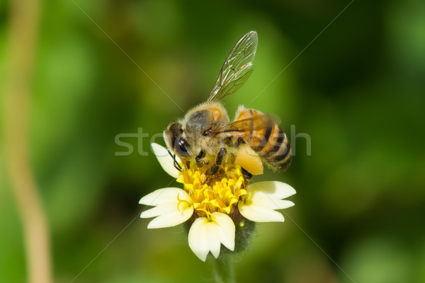A West African Honey Bee gathering pollen Stock photo © davemontreuil