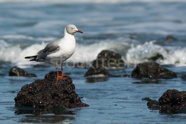 Grey-Headed Gull on ocean  rock Stock photo © davemontreuil