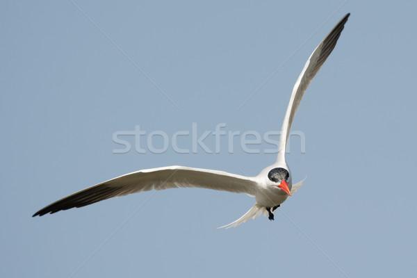 飛行 見える 魚 鳥 アフリカ 翼 ストックフォト © davemontreuil