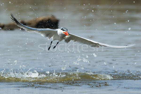 Repülés messze alámerülés hal víz étel Stock fotó © davemontreuil