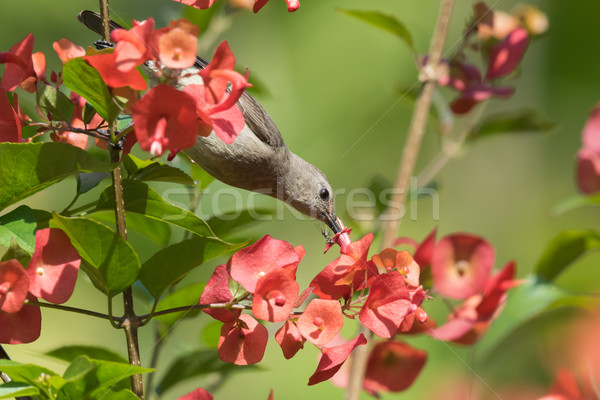 An ant defending a flower from a female Yellow-bellied sunbird ( Stock photo © davemontreuil