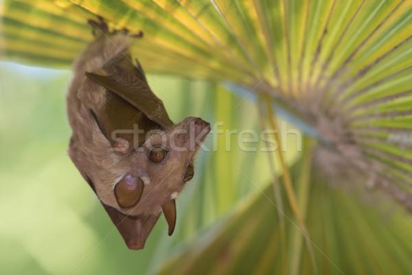 Anão fruto bat enforcamento folha de palmeira palma Foto stock © davemontreuil
