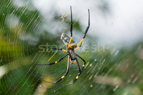 Golden Silk Orb Weaving Spider on Web Stock photo © davemontreuil