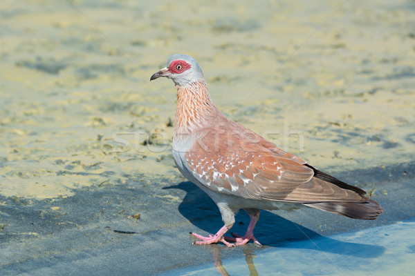 Speckled Pigeon(Columba Guinea) Stock photo © davemontreuil