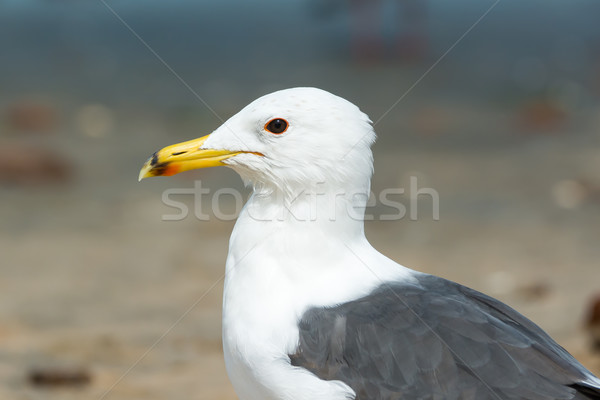 Portrait of a Lesser Black-Backed Gull Stock photo © davemontreuil