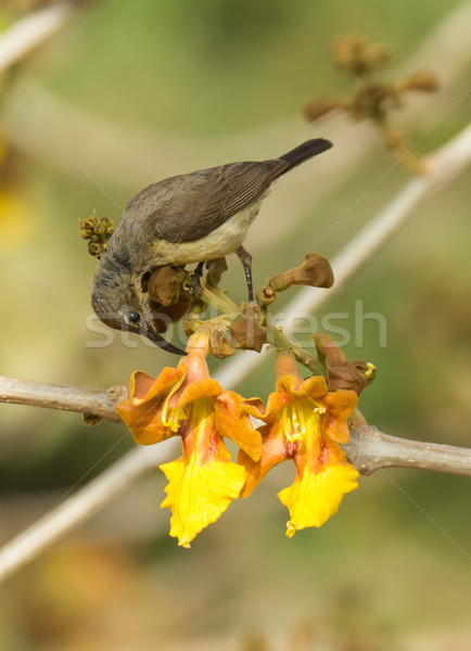 Female Beautiful Sunbird piercing a flower for nectar Stock photo © davemontreuil