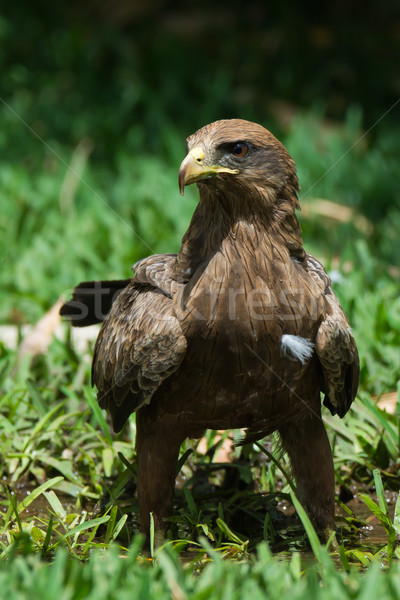 Black Kite (Milvus migrans) standing in grass Stock photo © davemontreuil