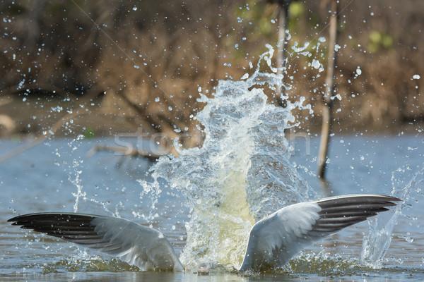 Caspian Tern wings with a pretty impressive splash Stock photo © davemontreuil