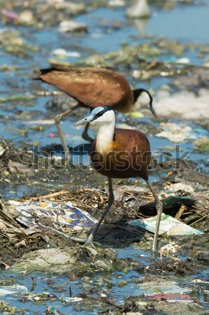 Two African Jacanas searching for food on floating refuse and se Stock photo © davemontreuil